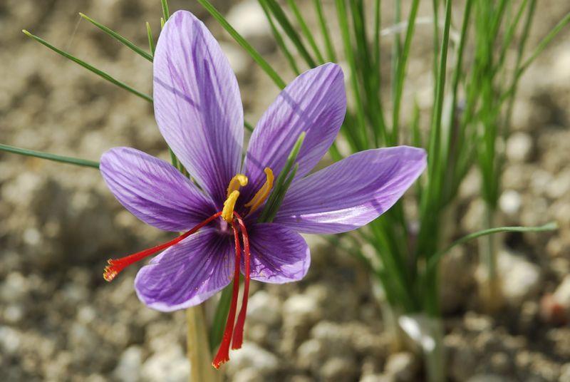 Fleur de safran otp4 1